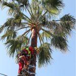 Potatura alto fusto: tree climbing con bicicletta delle palme